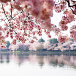 Washington Cherry Blossoms-500