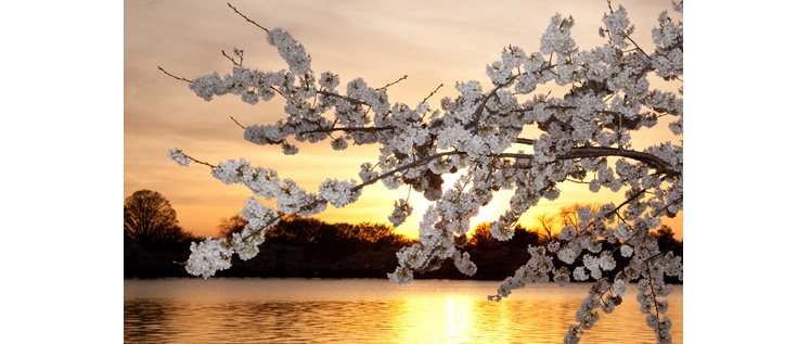 Washington Cherry Blossoms-New-1